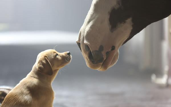 budweiser-puppy-love